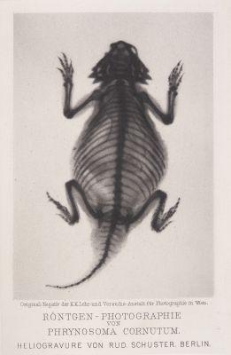 Röntgen-Photographie von Phrynosoma Cornutum