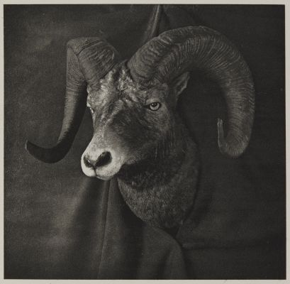 Head of Rocky Mountain Sheep