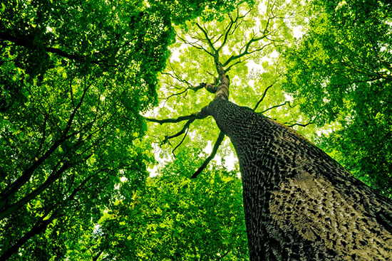 Tree canopy as viewed from the ground