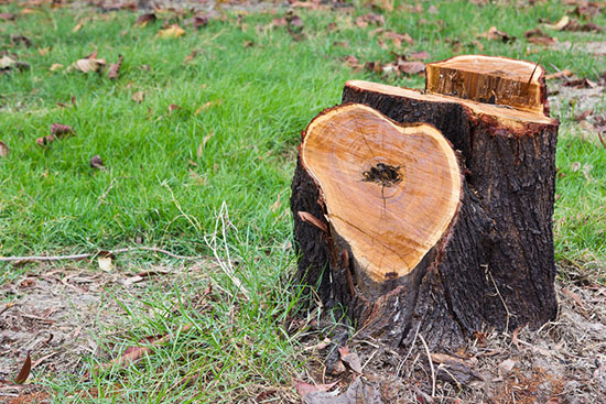 Freshly cut tree stump