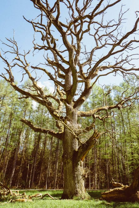 A very big and old tree without foliage