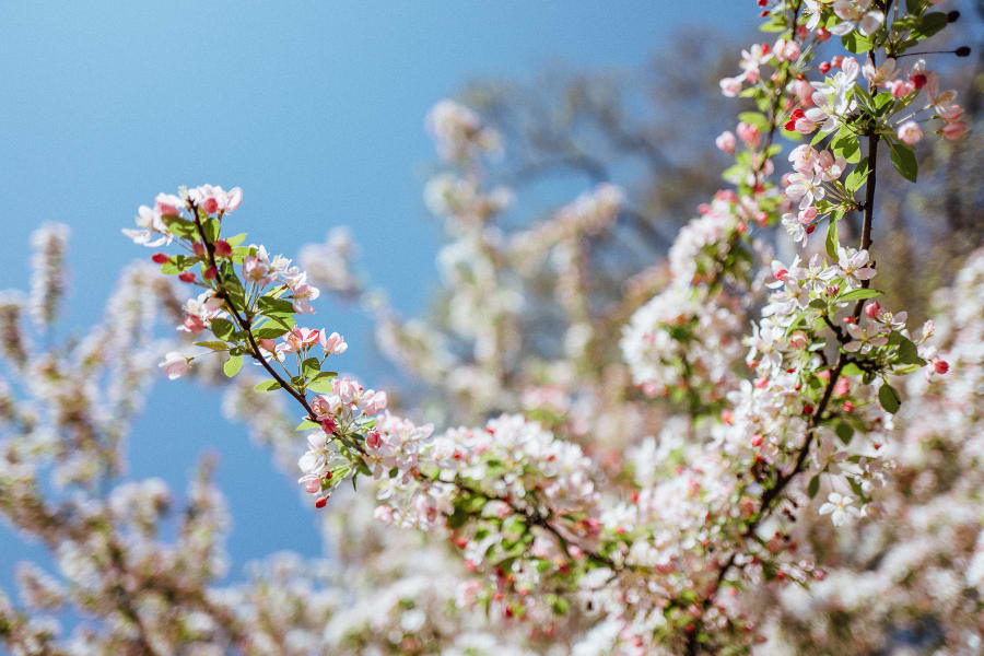 A close up of cherry blossoms.