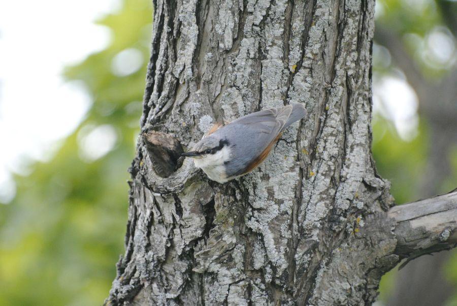 Eurasian Treecreeper