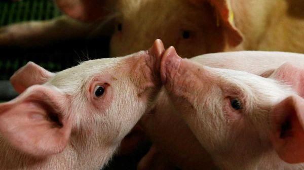 Germany pigs
