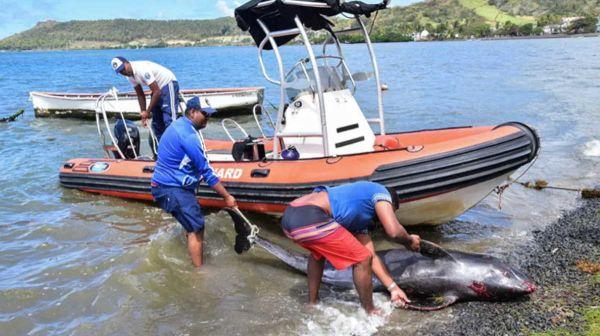 Mauritius dolphins