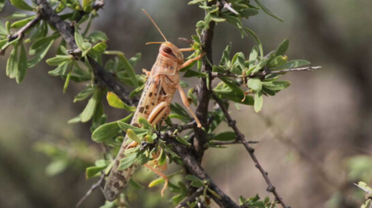 Desert locust Iran