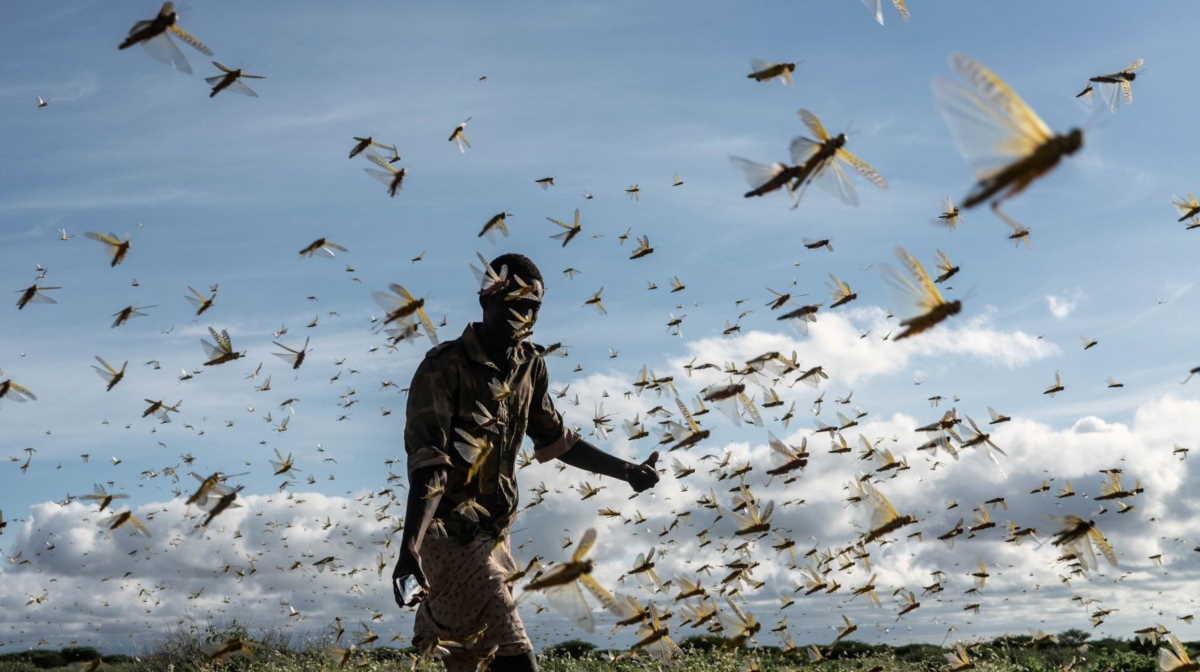 Kenya desert locust