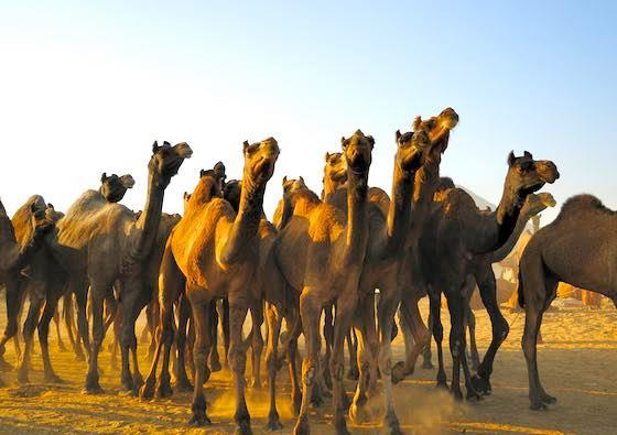 The Largest Herd of Camels