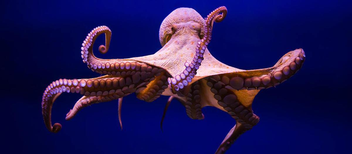 The Amazing Octopus