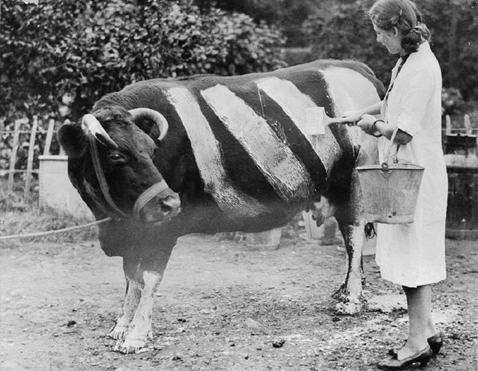 The Striped Cows of World War II