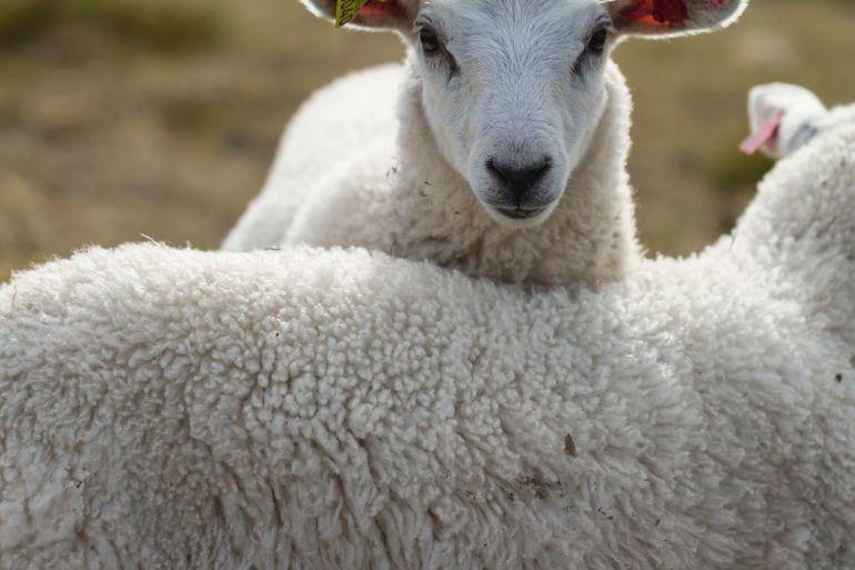 Weiße Schafe}