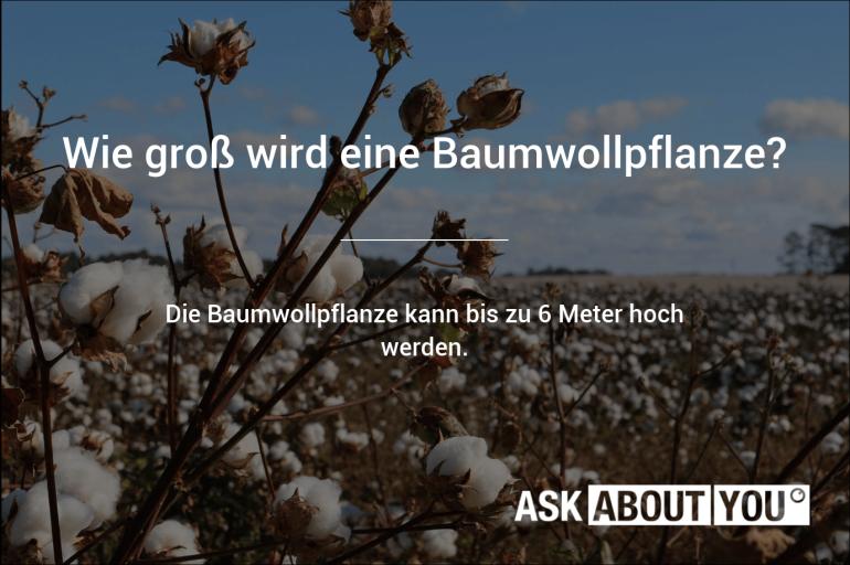 wie groß wird eine baumwollpflanze