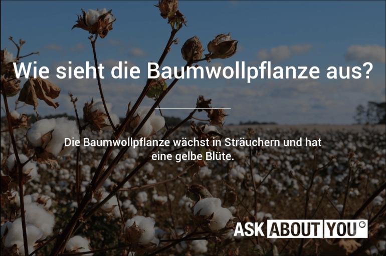 wie sieht die baumwollpflanze aus