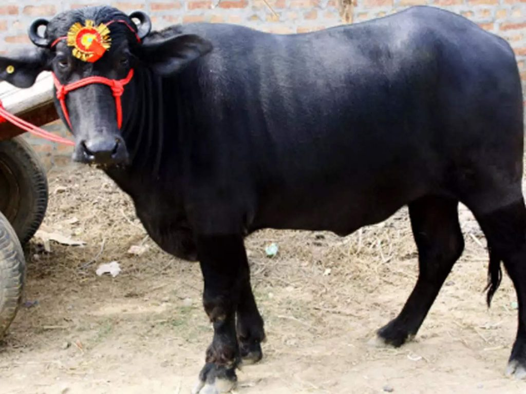 Most expensive buffalo in India
