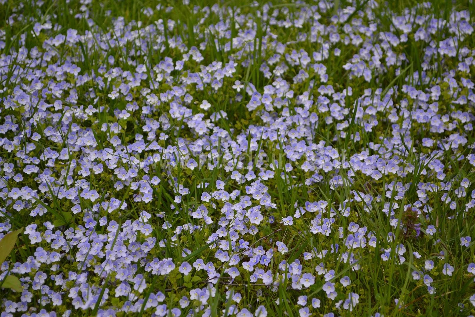 Laukinės gėlės, tinkančios gėlynams