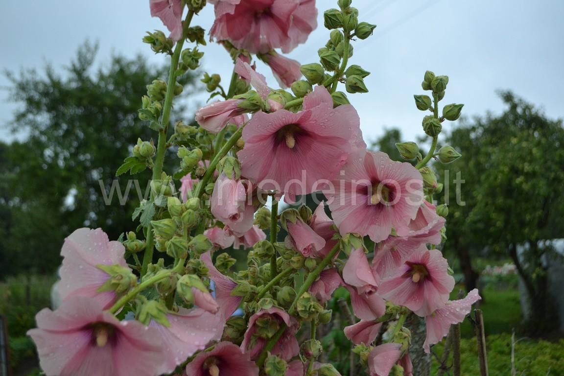 Aukštoji piliarožė (Alcea rosea)
