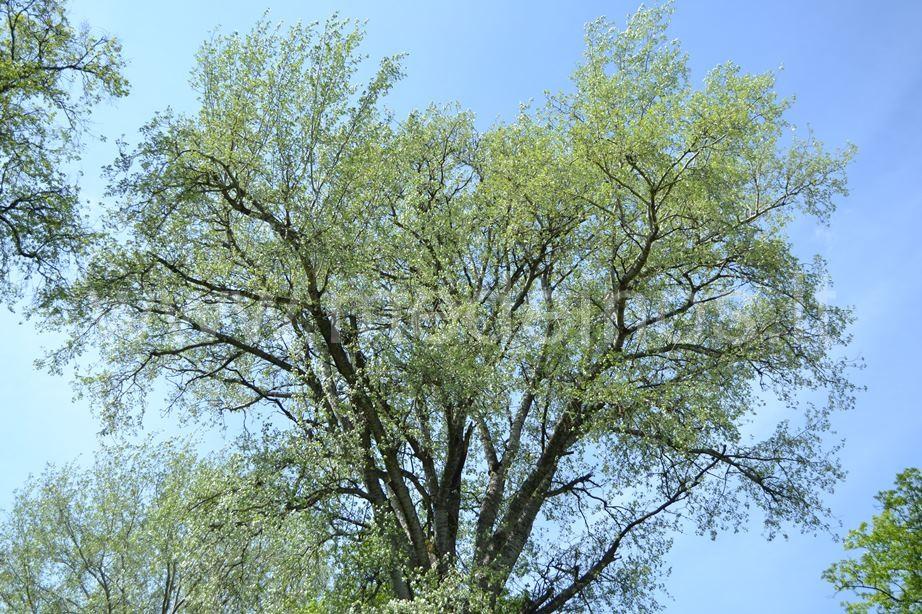 Pilkoji tuopa (Populus x canescens)