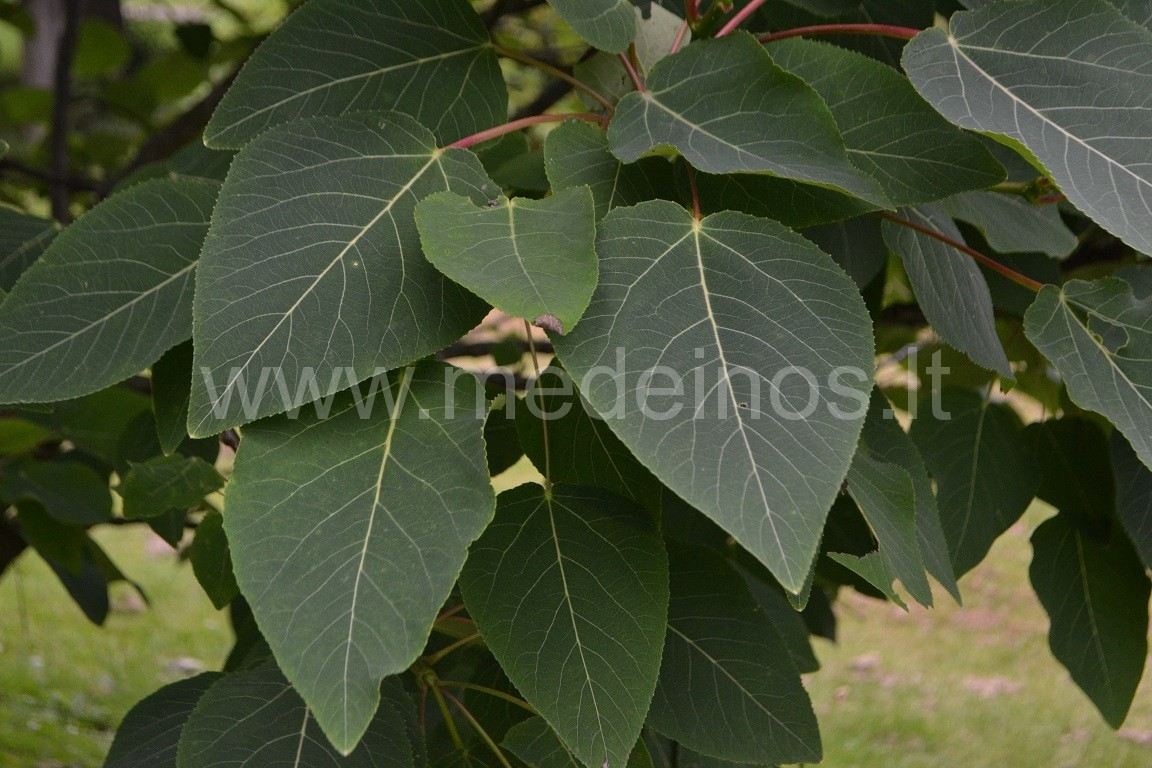 Tuopa (Populus wilsonii)