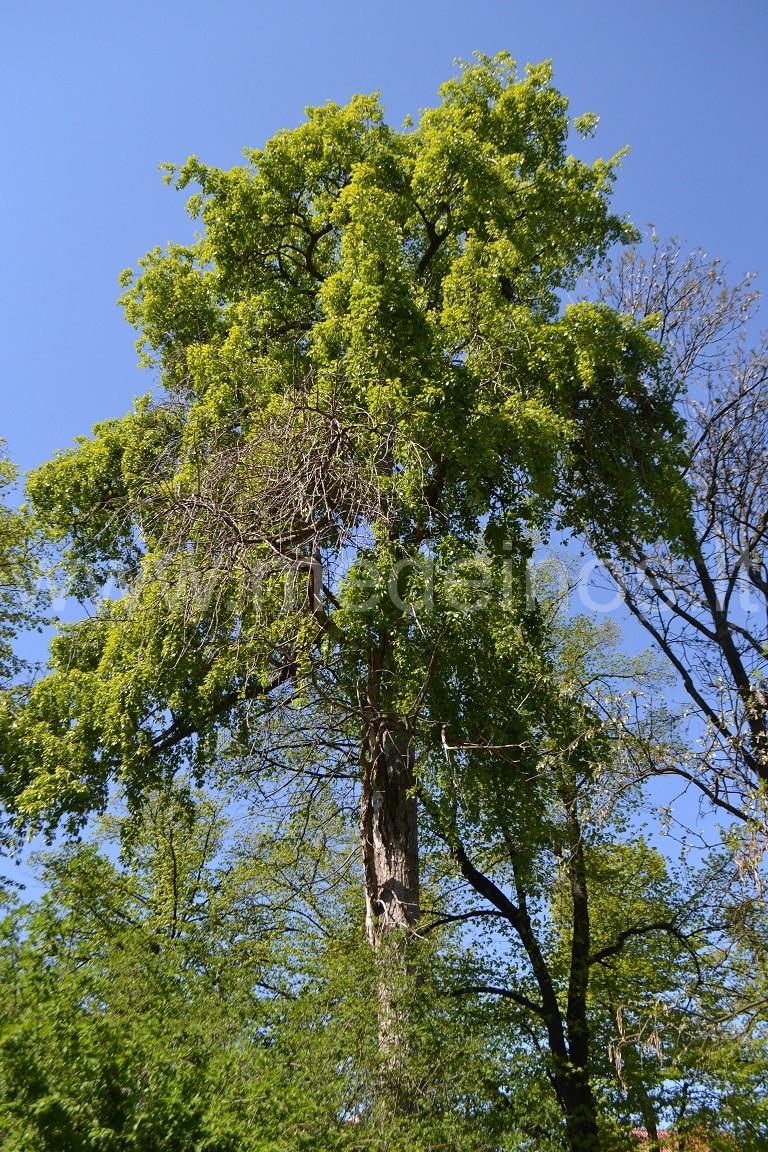 Kininė tuopa (Populus simonii)