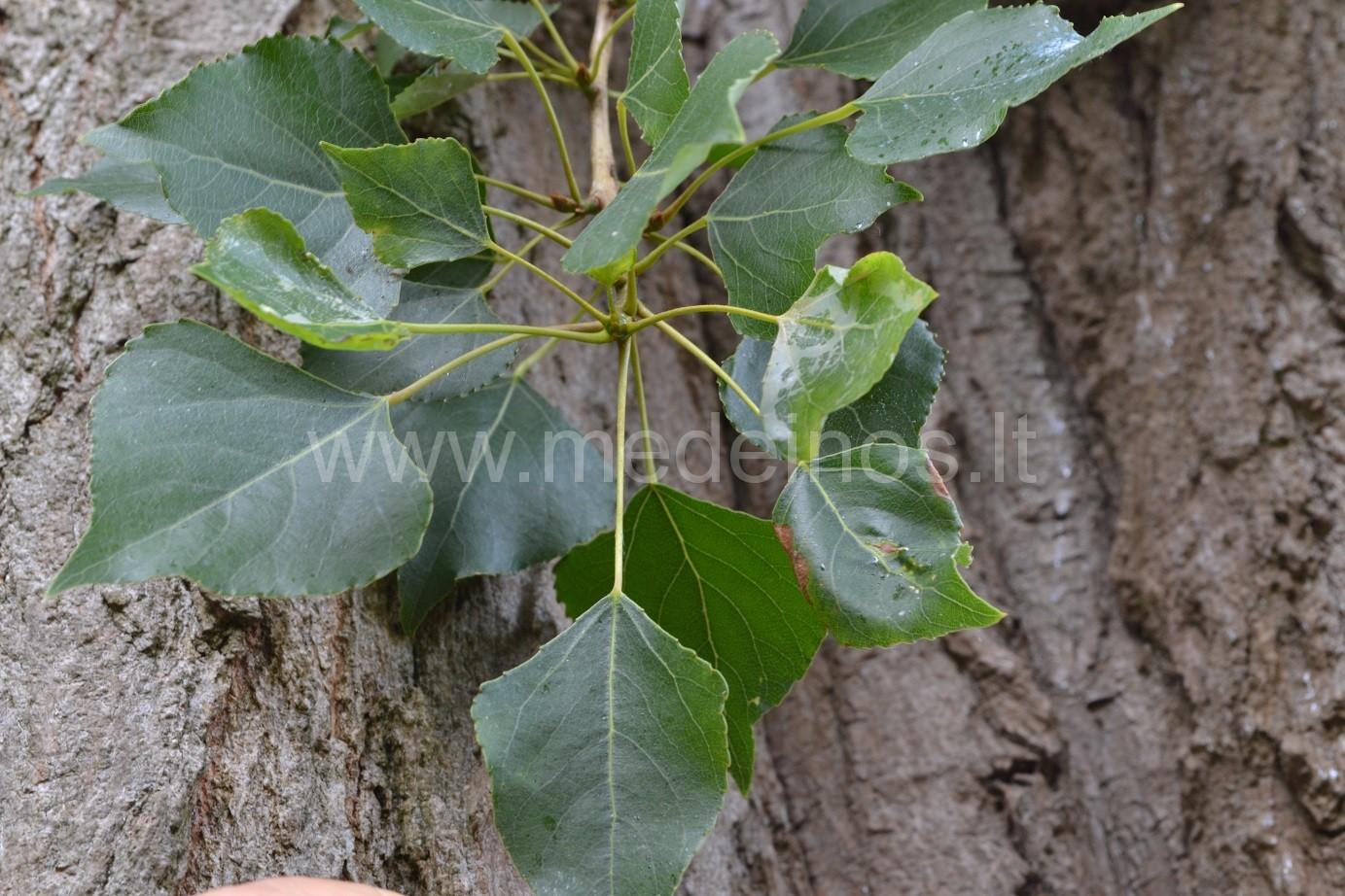 Juodoji tuopa (Populus nigra)