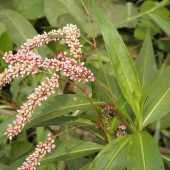 aatralari-denseflower-knotweed-polygonum-glabrum-or-persicaria-glabra-niru-kanigalu-chavanna-mudela-m