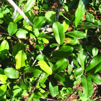 kanupala-ulakkaipalai-iron-wood-manilkara-hexandra-bakula-pazhamunpaala-mullupala-nandivriqshamu-drir