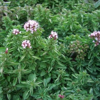 oregano-origanum-vulgare-maruga-mridu-maruvamu-ban-tulsi-marubakah