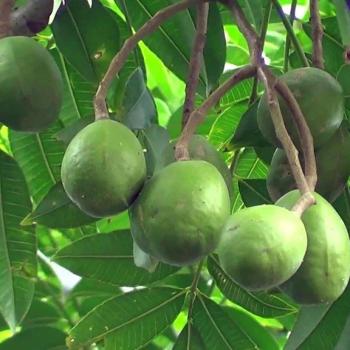 Buy-medicinal-plant-buy-online-herbal-plants-live plants-wild mango-spondias-pinnata