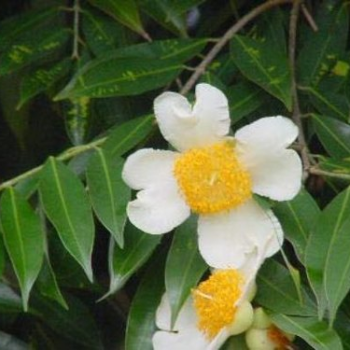 Buy-medicinal-plant-buy-online-herbal-plants-live plants-cobra saffron-mesua-ferrea