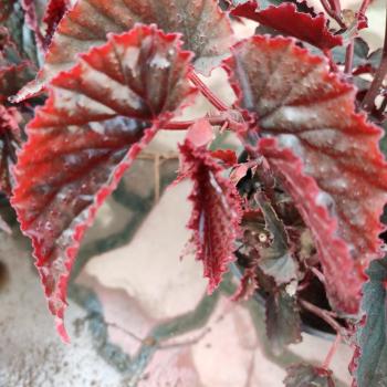 Buy-medicinal-plants-online-buy herbal plants online-india-price-raw material-raw-material online-fresh-leaf online-Sivappu-sangunarayana-sanjivi-sigappu-sangu-narayana-sanjivi-begonia-red-begonia-malabarica-red