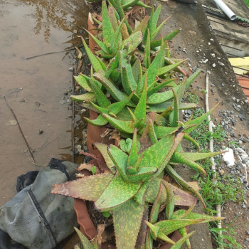 Buy-medicinal-plants-online-plants-Sigappu-katrazhai-senkumari-சிகப்பு-கற்றாழை