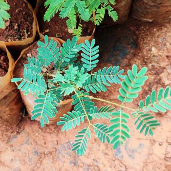 Buy-medicinal-plant-buy-online-herbal-plants-live plants-acacia-sundra-acacia-chundra