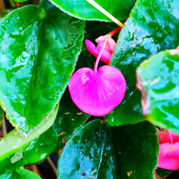 Buy-medicinal-plants-buy-herbal-online-plants-india-price-live-begonia-heart-shape