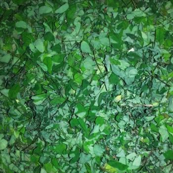 Buy-medicinal-buy-online-herbal-indian-price-elumbotti-எலும்பொட்டி