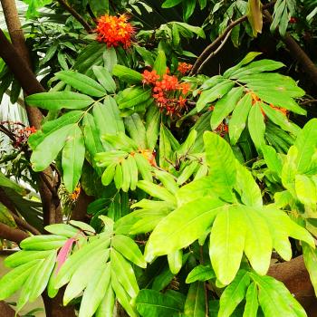 Buy-medicinal-plants-buy-herbal-online-plants-india-price-saraca-asoka-sitamaram-அசோகமரம்