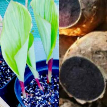 Buy-medicinal-buy-online-herbal-india-price-Raw- material-online-fresh-leaves-online-black-ginger-thailand-ginseng-karu-inji-கருஇஞ்சி-கருப்புஇஞ்சி