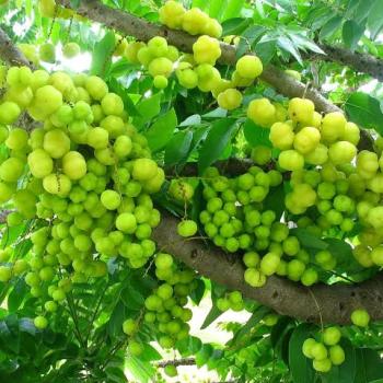 Buy-medicinal-buy-online-herbal-indian-price-arunelli-arainelli-phyllanthus-acidus
