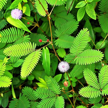 Buy-medicinal-buy-online-herbal-indian-price-thottal-sinungi-touchmenot-sensitive-shy-plant