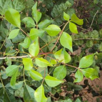Buy-medicinal-buy-online-herbal-indian-price-commiphora-caudata-kiluvai-hill-mango