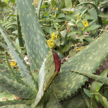 Buy-medicinal-buy-online-herbal-indian-price-Sivappu-katrazhai-சிவப்பு-கற்றாழை-red-aloevera-redaloe-shopping