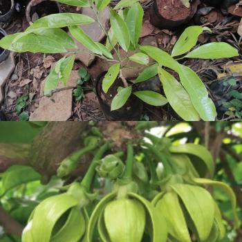 Buy-medicinal-plants-online-plants-buy-herbs-online-artabotrys-hexapetalus-manoranjitham-மனோரஞ்சிதம்