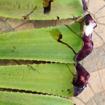 Buy-medicinal-buy-online-herbal-indian-price-Raw- material-online-fresh-leaves-online-red-aloevera-aloe vera-sivappu-katrazhai-சிவப்பு-கற்றாழை-செங்குமரி-senkumari