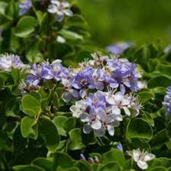 buy-medicinal-herbal-plants-online-shopping-india-price-Guaiacum-officinale-chobehyat-kuvakam-kuvakkucceti