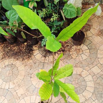 Buy-medicinal-plants-online-herbal-india-price-Kungiliam-Vellai-kungiliam-dhup-dhoop-வெள்ை-குங்கிலியம்-vateria-indica-white-damar-vateria-indica
