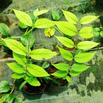 buy-medicinal-herbal-plants-online-shopping-india-price-karuvetpalai-karupaalai-black-indrajo-neela-palaa-tellapalaa