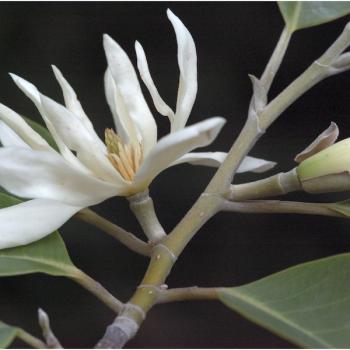 buy-medicinal-herbal-plants-online-shopping-india-price-vellai-chembagam-vellai-shenbagam-white-chempag
