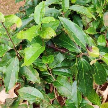 buy-medicinal-herbal-plants-online-shopping-india-price-mulshenbagam-hennu-sampage-caralvvazham-flacourtia-montana