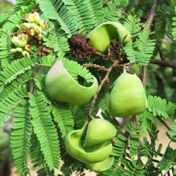 buy-medicinal-herbal-plants-online-shopping-india-price-divi-divi-american-sumac-cascolate-ink-tree-konaivel-sumaq