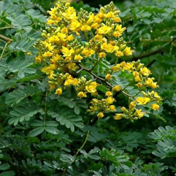 buy-medicinal-herbal-plants-online-shopping-india-price-brazilian-ironwood-ironwood-leopard-tree