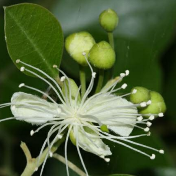 buy-medicinal-herbal-plants-online-shopping-india-price-pachunda-torate-mudkondai-thoratti-nalluppi-treecapper-grandcapper-caesalpinia-ferrea-libidia-ferrea
